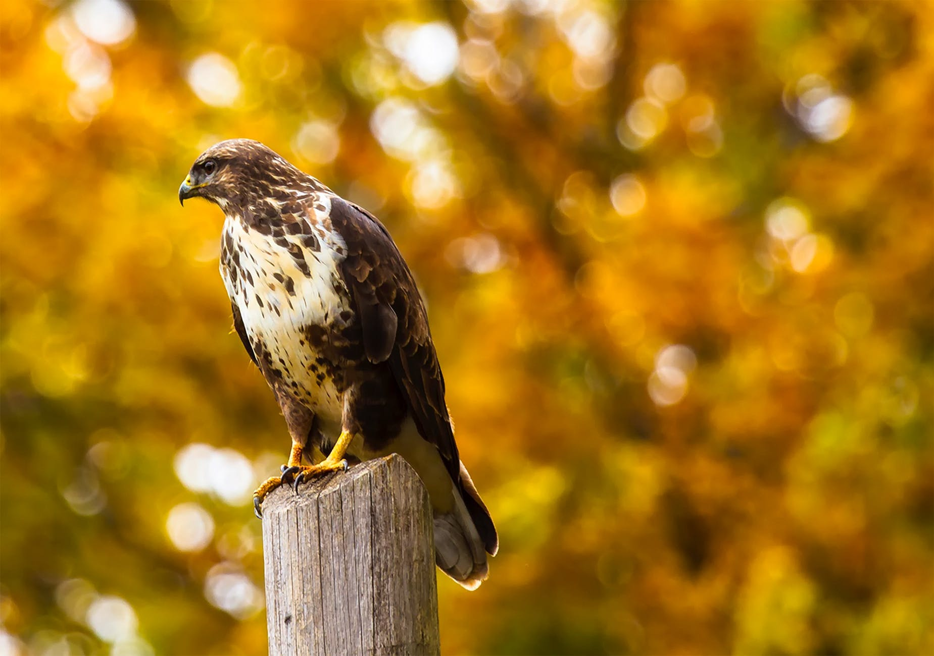 close up of eagle perching on outdoors