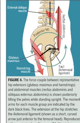 Hip Pelvis musculature I